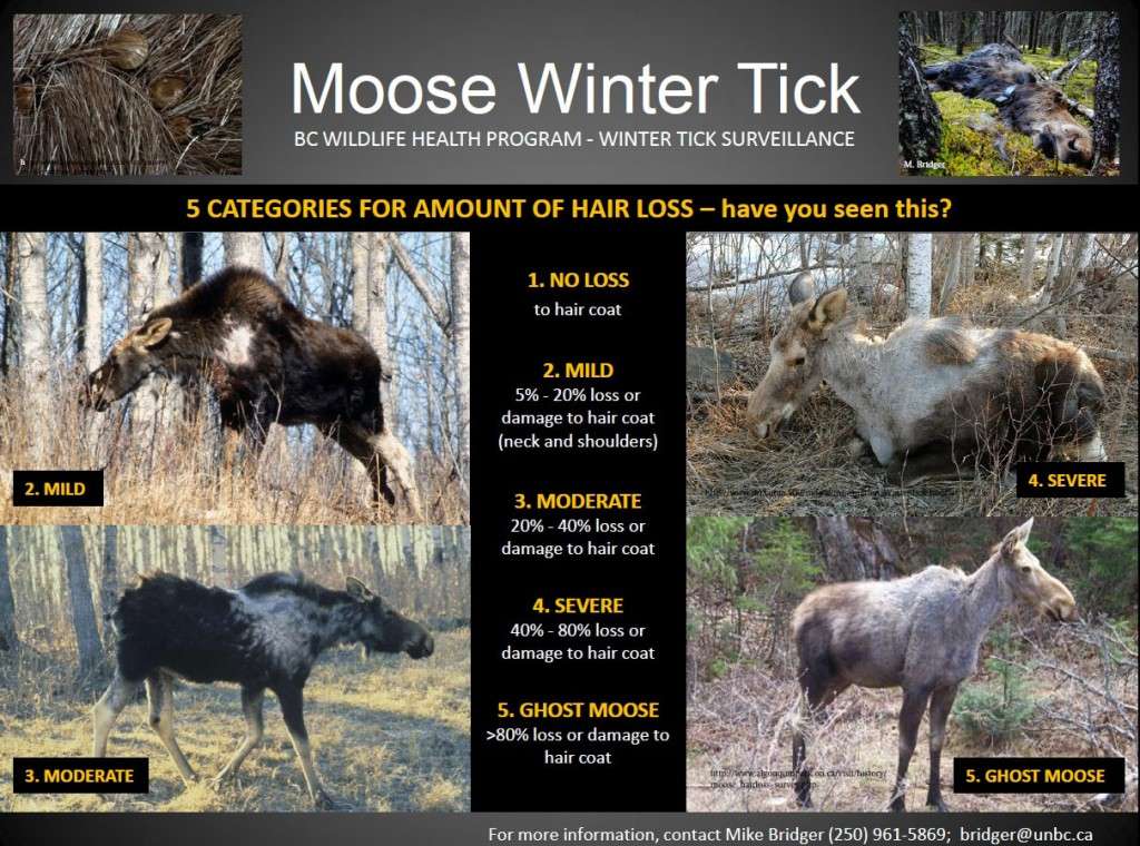 Moose Winter Tick Poster