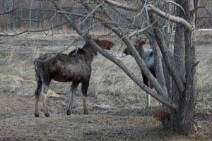 Cow and calf moose showing signs of tick infestation.