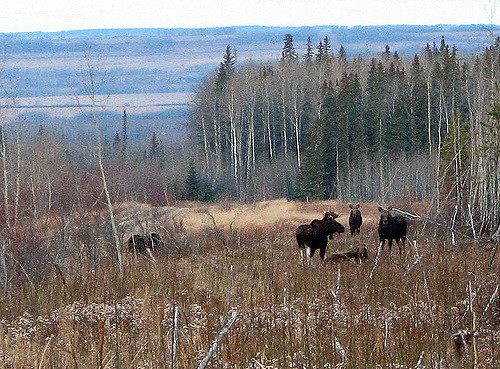 Photo of a group of moose