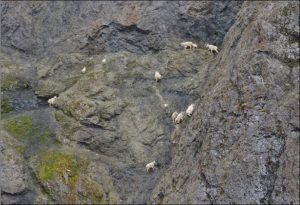 Photo of Mountain Goats