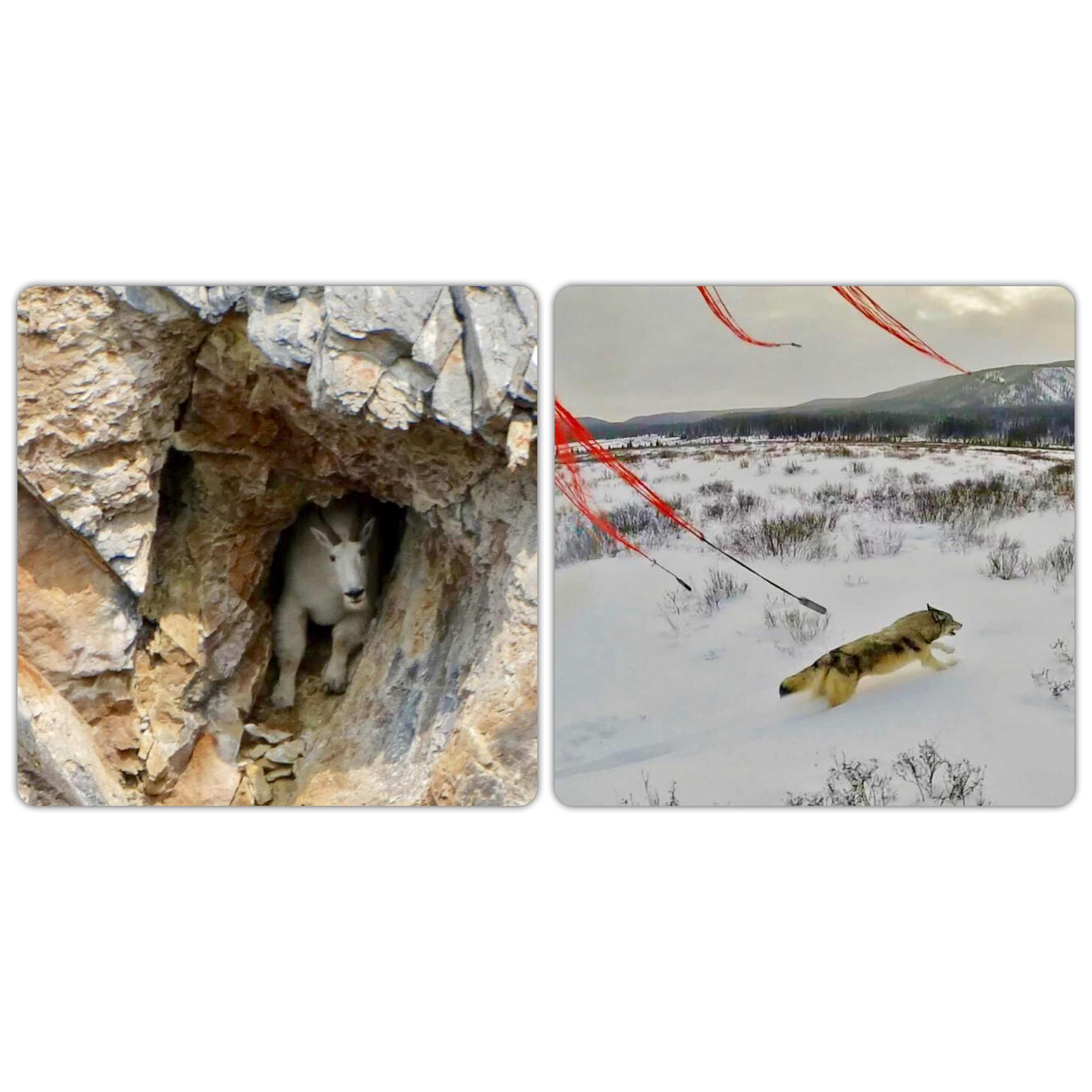 Collage Photo of a Mountain Goat in a Cave and of a Wolf About to Be Captured by a Net Gun