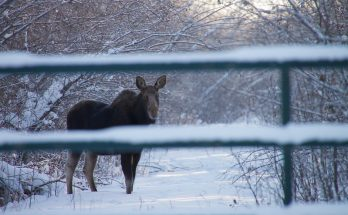 Photo of a cow moose behind a gate.