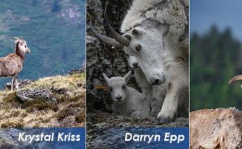 Photos of Mountain Sheep and Goats